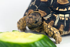 Leopard Tortoise. (Geochelone pardalis) isolated on white background is eating cucumber Stock Images
