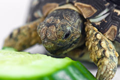 Leopard Tortoise. (Geochelone pardalis) isolated on white background is eating cucumber Royalty Free Stock Photography