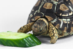 Leopard Tortoise Royalty Free Stock Image