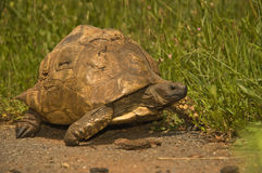 Leopard tortoise. Large - adults 8 -12kg or even bigger; domed carapace; vegetarian; readily sprays liquid bowel contents when handled Stock Images