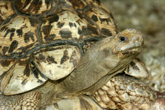 Leopard tortoise Royalty Free Stock Images