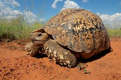 Leopard tortoise Stock Photos