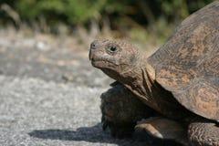 Leopard Tortoise. African leopard tortoise crossing road slowly royalty free stock photo