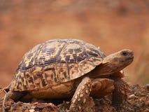 Free Leopard Tortoise Stock Photography - 86744562