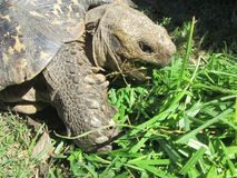 Leopard Tortoise. Royalty Free Stock Images