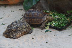 Leopard tortoise and African spurred tortoise in a terrarium Royalty Free Stock Photos