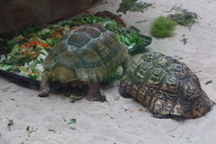 Leopard tortoise and African spurred tortoise in a terrarium. Leopard tortoise and African spurred tortoise on sand in a terrarium Royalty Free Stock Photography