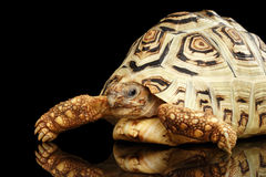 Leopard tortoise albino,Stigmochelys pardalis with white shell Isolated Black Background Royalty Free Stock Image