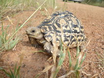 Leopard tortoise. Black stripped shell reptile Royalty Free Stock Photo
