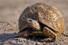 Leopard tortoise, Botswana Royalty Free Stock Photos