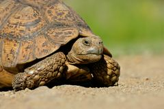 Leopard tortoise. Close-up of a leopard tortoise (Geochelone pardalis), South Africa Royalty Free Stock Images