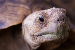 Leopard tortoise close up. Close up image of an African leopard tortoise Royalty Free Stock Photography