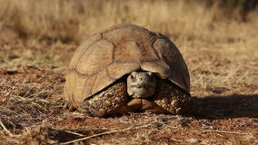 Leopard tortoise stock video footage