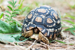 Leopard tortoise in the defense position Royalty Free Stock Photos