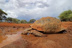 Leopard tortoise drinking water royalty free stock images