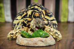 Leopard tortoise eating cucumber Stock Photo