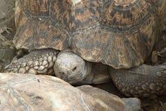 Leopard Tortoise, Ethiopia, Africa Stock Photos