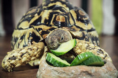 Leopard tortoise is feeding Stock Photography