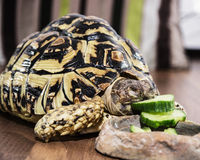 Leopard tortoise - Geochelone pardalis - eating cucumber, animal. Leopard tortoise - Geochelone pardalis - eating cucumber. Animal scene. Endangered species Stock Images