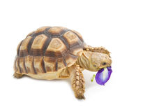 Leopard Tortoise (Geochelone pardalis) eating flower Royalty Free Stock Images