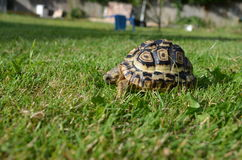 Leopard Tortoise in grass Stock Images