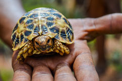 Leopard tortoise in hand Stock Photo