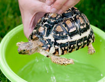 Leopard tortoise - daily hygiene Royalty Free Stock Images