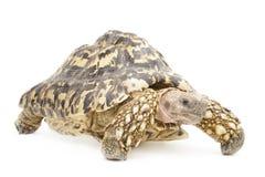 Leopard Tortoise Royalty Free Stock Photos