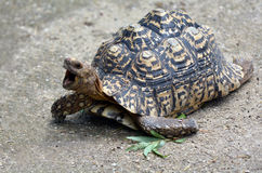 Leopard tortoise large and attractively marked tortoise Stock Images