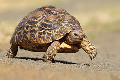 Leopard tortoise Royalty Free Stock Image