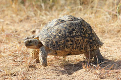 Leopard Tortoise on the move Stock Photo