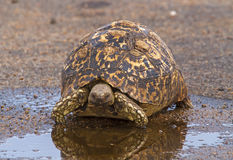 Leopard Tortoise Near Water Puddle Royalty Free Stock Photo
