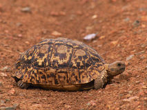 Leopard tortoise. One of South Africa`s Small Five, the leopard tortoise. An attractive tortoise, or turtle, shot at eye levels against a bokeh rufous background Stock Photography