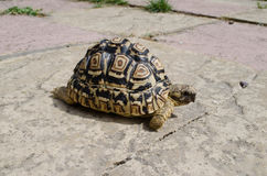 Leopard Tortoise on path. A Leopard Tortoise outside on a path Stock Image