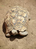 Leopard tortoise. A Leopard tortoise roaming on the African drylands Stock Image