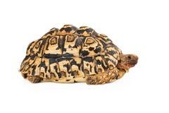Leopard Tortoise Sie View Stock Image