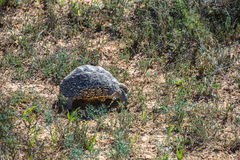 Leopard Tortoise in South Africa Royalty Free Stock Images
