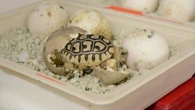 Leopard tortoise (Stigmochelys or Geochelone pardalis) baby stock video