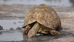Leopard tortoise stock video