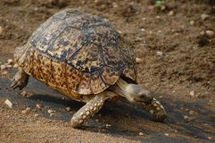 Leopard tortoise (Stigmochelys pardalis) Royalty Free Stock Image