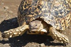 Leopard tortoise (Stigmochelys pardalis) stock photography