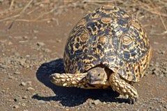 Leopard tortoise (Stigmochelys pardalis) Royalty Free Stock Images