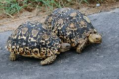 Leopard tortoise (Stigmochelys pardalis) Royalty Free Stock Photo