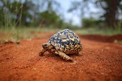 Leopard tortoise, Stigmochelys pardalis, on the orange gravel road. Turtle in the green forest habitat, Kruger NP, South Africa. stock photography