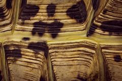 Leopard Tortoise Stigmochelys pardalis shell close up stock image