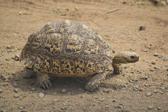 Leopard Tortoise. Or ( Stigmochelys pardalis ) walking in profile on dirt ground. Chobe National Park, Botswana stock images