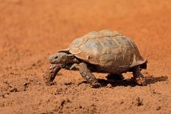 Leopard tortoise walking royalty free stock photos