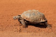 Leopard tortoise walking royalty free stock photo