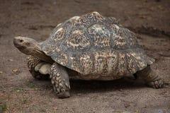 Leopard tortoise Stigmochelys pardalis. Wildlife animal Stock Photo
