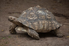 Leopard tortoise Stigmochelys pardalis. Wildlife animal Royalty Free Stock Photo